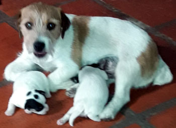 cachorros jack russell terrier uruguay