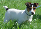 Jack Russell Terrier Hembras